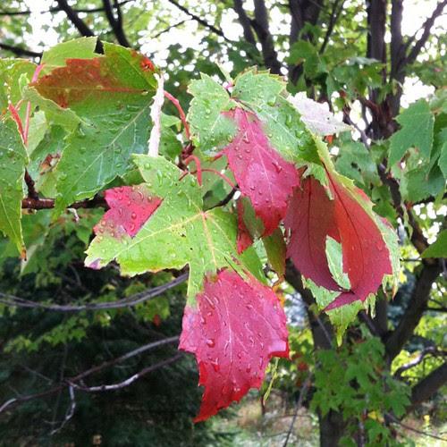 Rain kissed maple