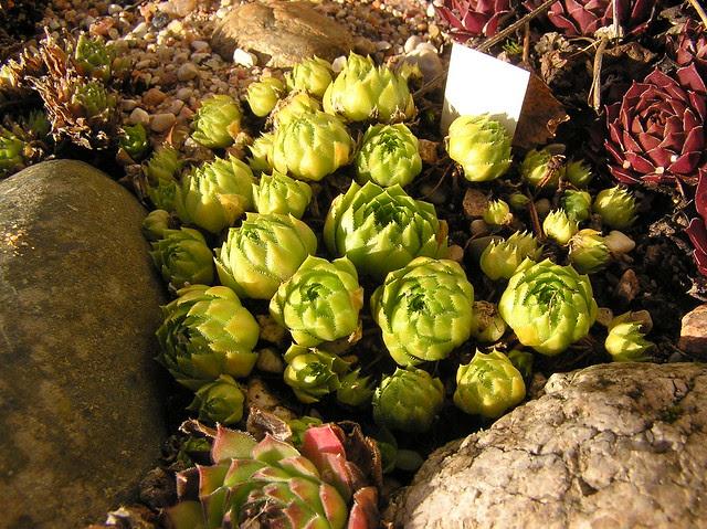 Sempervivum globiferum 'Green Globe'