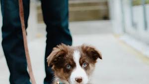 21+ Australian Shepherd Puppies For Adoption Brisbane
