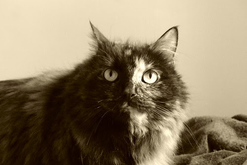 #chat #tortoiseshell #cat #Flickr12Days