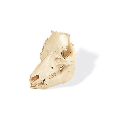 T30016: Crânio de porco (Sus scrofa) 1