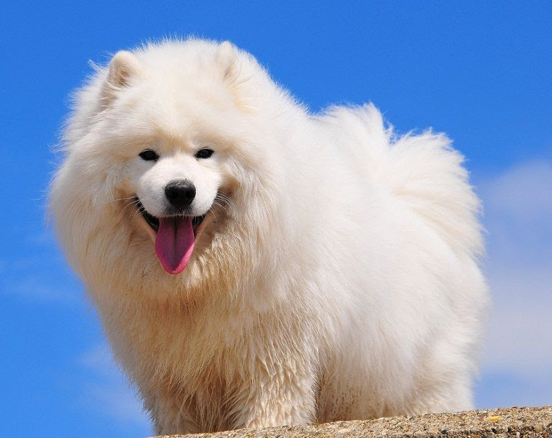 Samoyed dog (Samoyed)