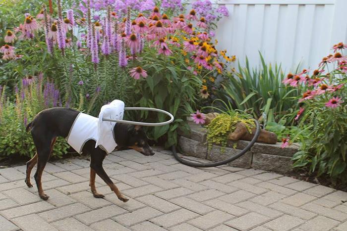 blind-dog-safety-device-muffins-halo-13