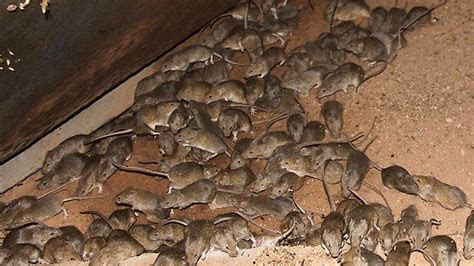 Mice plague hits biblical proportions across New South Wales farms   CRISISBOOM