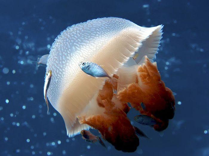 mosaic-jellyfish-australia_22665_990x742 (700x525, 40 Kb)