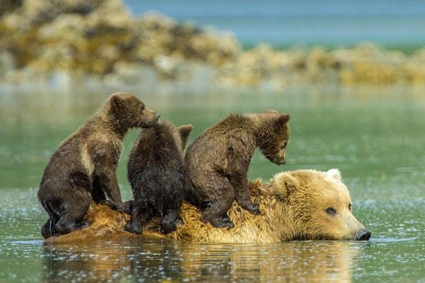 """Trio de ursos """"surfa"""" nas costas da mamãe ursa durante travessia de rio, no Alasca (Foto: Solent/The Grosby Group)"""