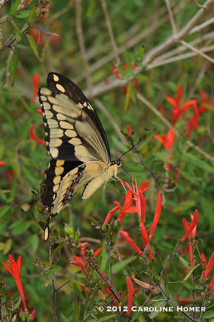 Giant swallowtail on flame acanthus