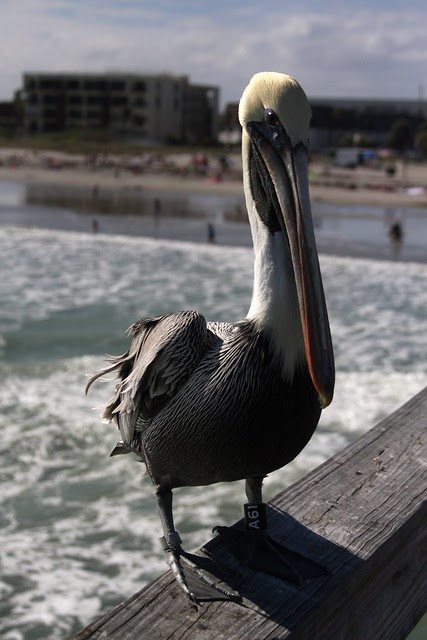 Pelican, Cocoa Beach Pier