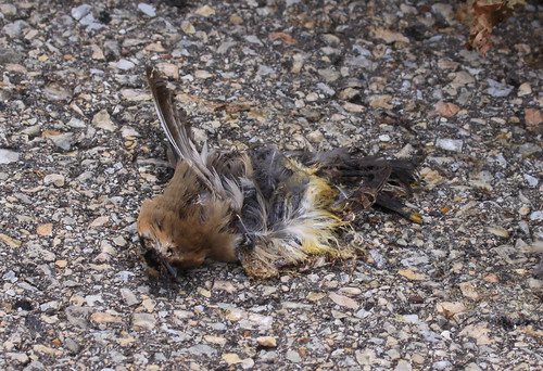 Cedar Waxwing killed by car on Goose Pond Road.