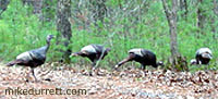 Photo: Four wild turkeys visit Mike's house.