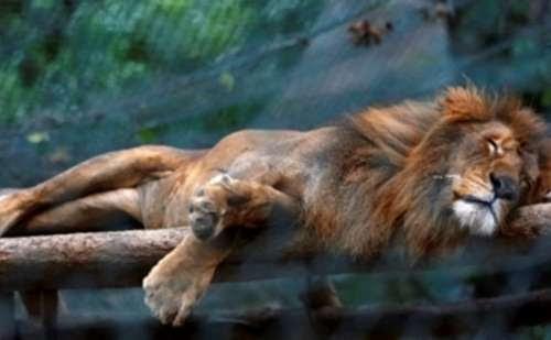 Animais de zoológico passam fome e 50 já morreram