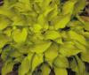 Show product details for Hosta Cracker Crumbs