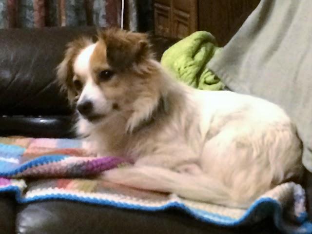 Abi – 7 1/2 year old female Jack Russell Terrier cross