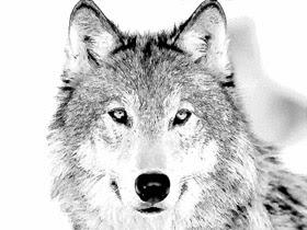 Akvis Sketch Convierte Una Foto De Un Lobo En Un Dibujo A Lápiz