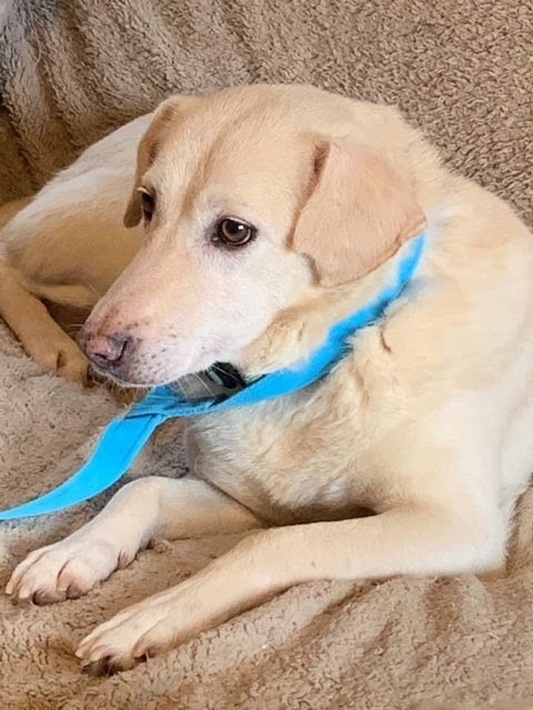 Pringle – 9 year old female Labrador Cross