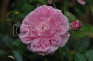 Caldwell Pink