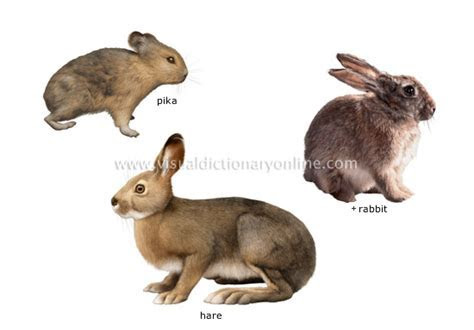 ANIMAL KINGDOM :: RODENTS AND LAGOMORPHS :: EXAMPLES OF LAGOMORPHS image   Visual Dictionary Online