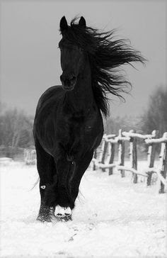 Black Beauty.