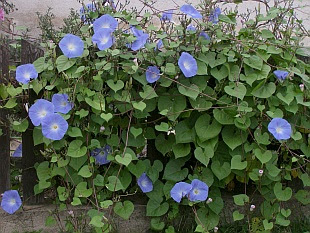 http://www.about-garden.com/images_data/3664-ipomoea-tricolor-1.jpg