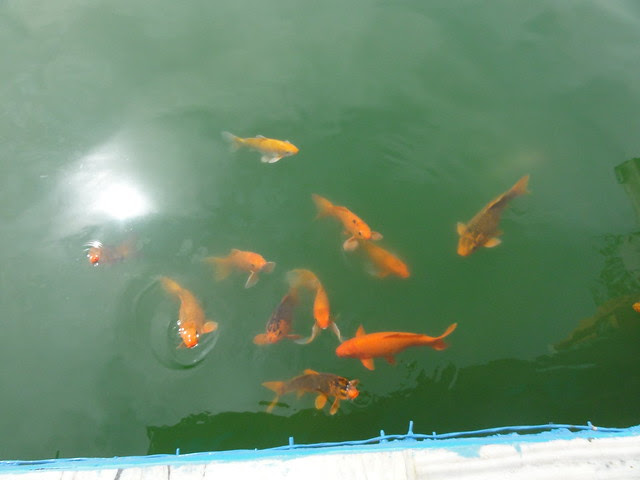 beautiful fishes in the Holy Pond, Amritsar