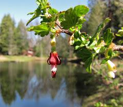 sierra gooseberry