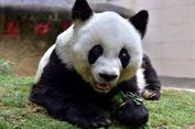 Panda Tak Lagi Terancam Punah, Bagaimana China Melakukannya?
