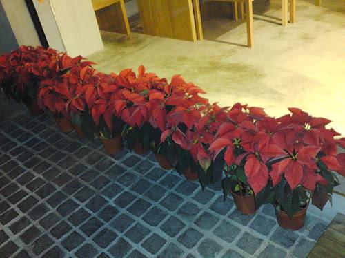 smith&hsu餐廳外的聖誕紅