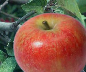Baldwin apple (U.S.A.) also known as Woodpecke...