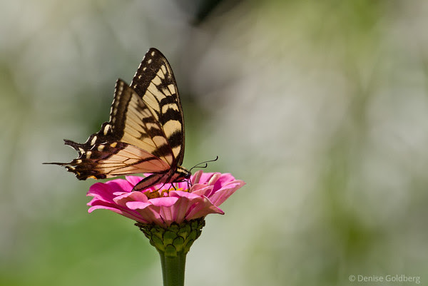 butterfly posing, perched on pink