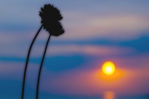 Λουλούδια στο ηλιοβασίλεμα