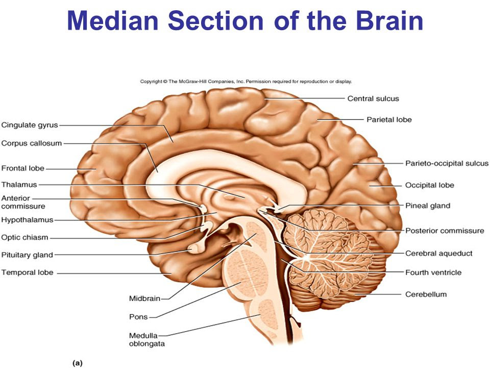 Median+Section+of+the+Brain