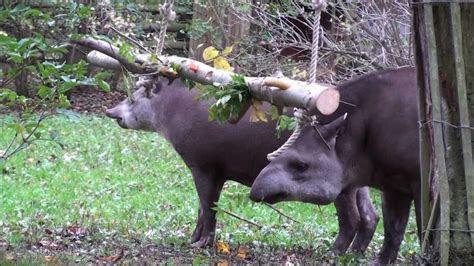 tapir log swinger enrichment   YouTube