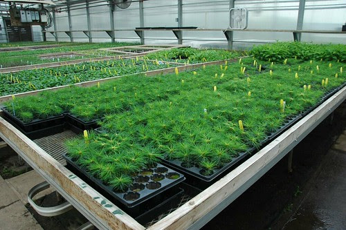 Pinus strobus seedlings