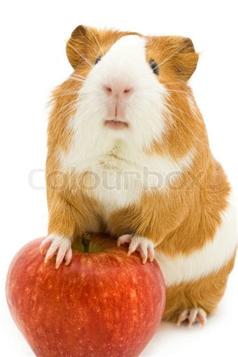 Red and white guinea pig and red apple   Stock Photo   Colourbox