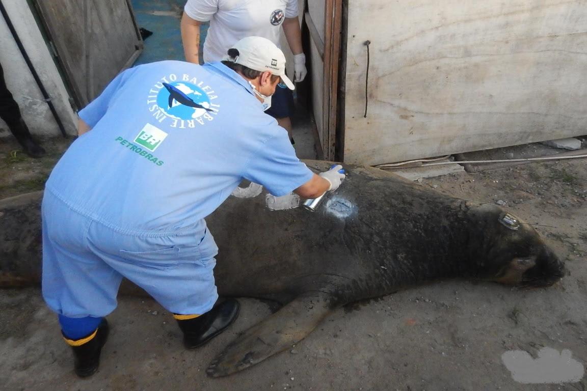 Pesquisador instalando transmissor no elefante-marinho Fred. Foto: Instituto Baleia Jubarte