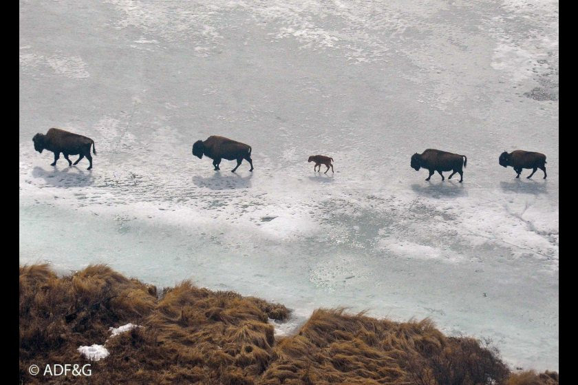 alaksa bisons links