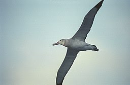 Antarctic,albatros (js) 2