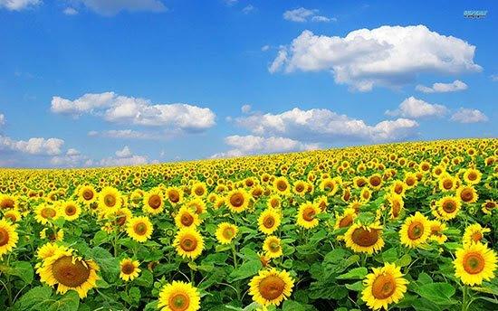 2000 Gambar Bunga Matahari Terindah  Terbaru