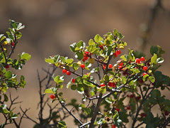 hollyleaf redberry