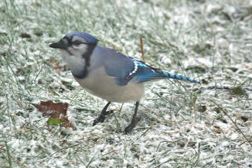 Blue Jay-2.jpg