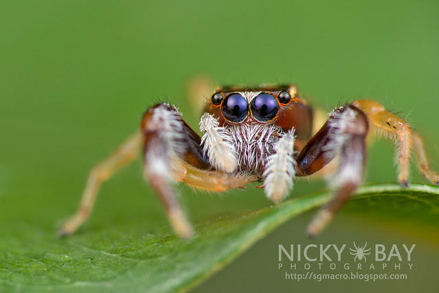 Jumping Spider (Salticidae) - DSC_7487