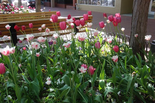 Pearl St Mall tulips