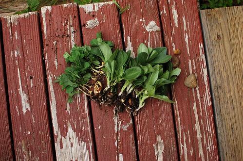 pea shoots and fava bean seedlings