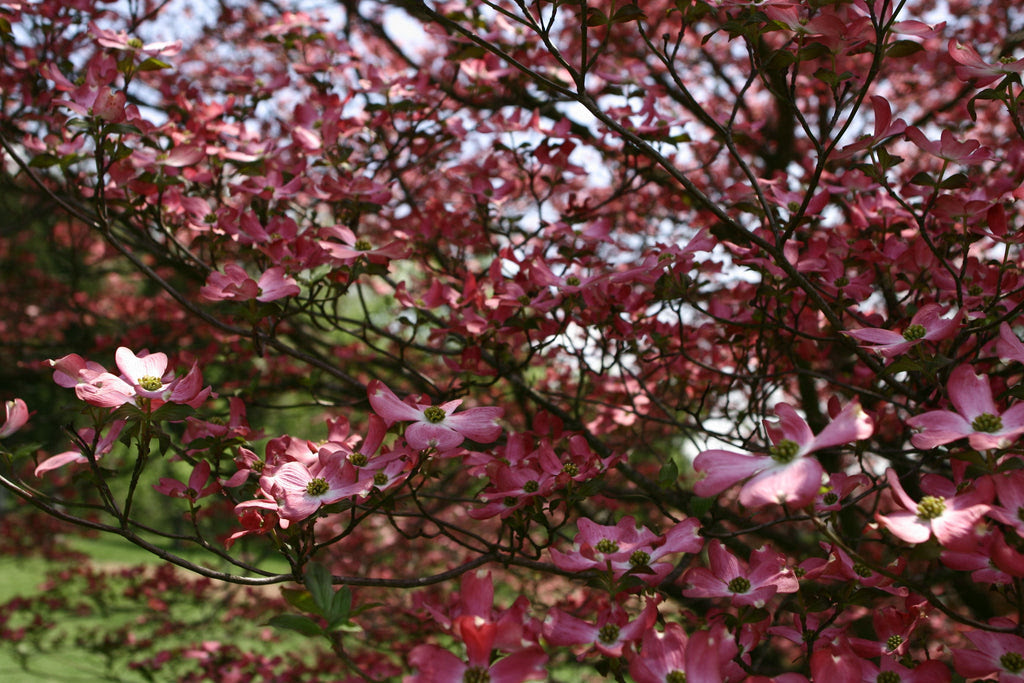 Dogwood Trees Everything You Ever Wanted To Know Fast Growing