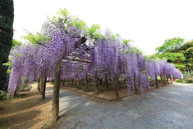 Over 1200 years old Japanese wisteria / Wisteria floribunda / 樹齢(じゅれい)1200年余(ねんよ)の藤(フジ)
