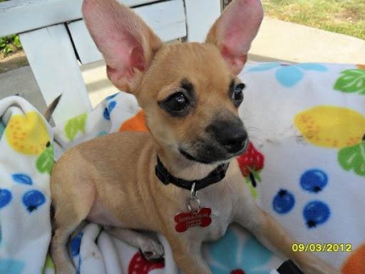 German Shepherd Puppies For Sale In Nc Craigslist - Pets ...