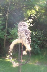 barred owl tethered out