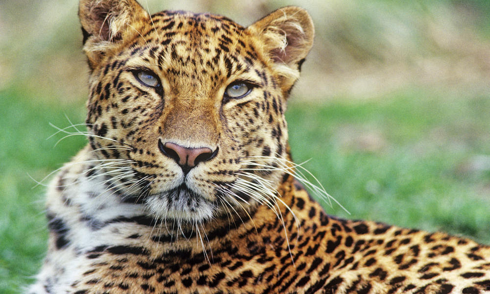 How Fast Are Amur Leopards And 9 Other Amur Leopard Facts Stories