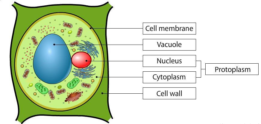 Plant Cell Drawing With Labels at GetDrawings   Free download
