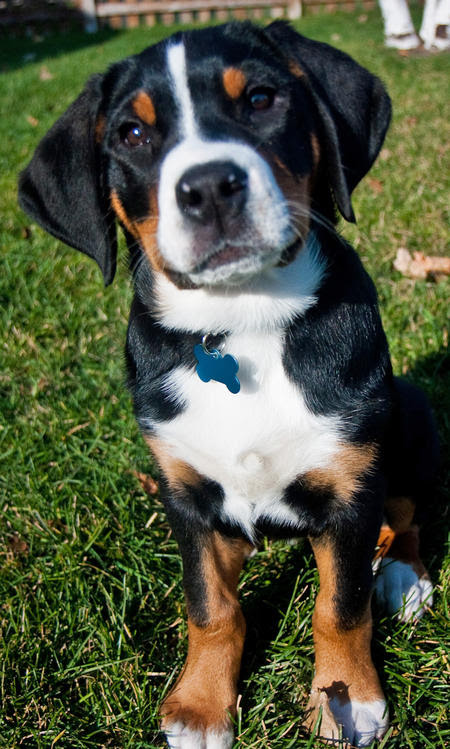 Need Some Lovable Greater Swiss Mountain Dogs in your Day? Of Course You Do.  Daily Puppy